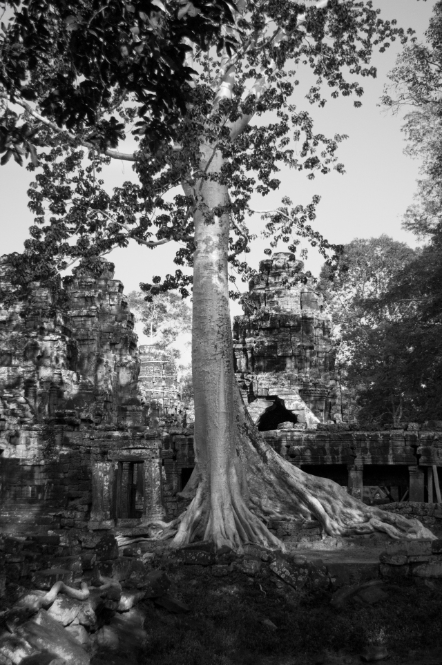 _DSC0362 Angkor drzewa