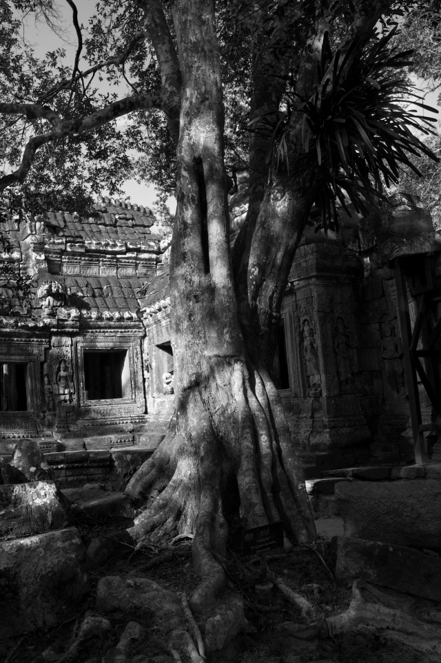 _DSC0381 Angkor drzewa